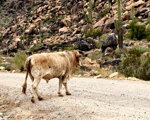road arizona cactus usa southwest america landscape outdoors cow nikon scenery az bull dirt western ghosttown oldwest d300 olewest