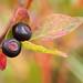 Flickr photo 'wild Huckleberry - Vaccinium membranaceum' by: MT Lynette.