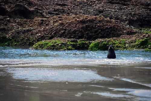 hey mr. seal!, whariki beach | by hopemeng