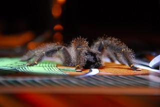 Yellow-knee Tarantula on the Dinner Table | by billyrayhorsefly