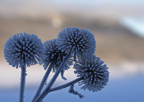 Frosty thistles | by randihausken