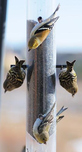 urban snow birds mixed feeding thistle flock feeder pinesiskin americangoldfinch carduelistristis carduelispinus lessergoldfinch carduelispsaltria afsvrzoomnikkor70300mmf4556gifed darinziegler