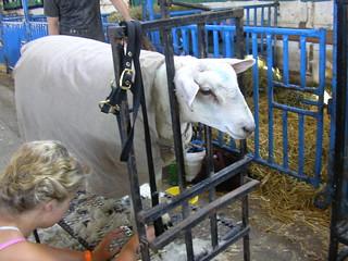 saturday morning at the sheep salon