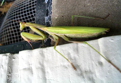 Green Mantis 2 | by volkspider