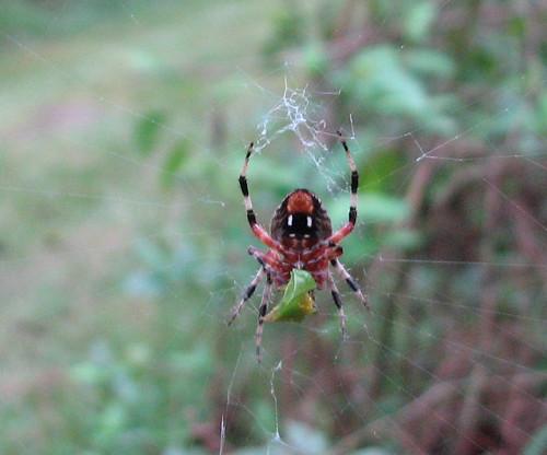 Hanging Spider Pettigrew SP 8250