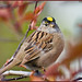 Flickr photo 'Golden Crowned Sparrow' by: TT_MAC.