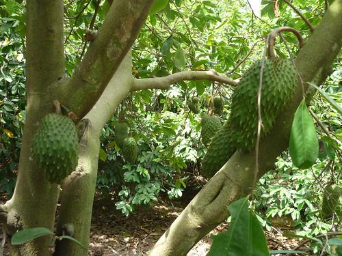 Vườn cây Mãng cầu xiêm  Annona muricata  Annonaceae | by Hoa Trai Viet Nam