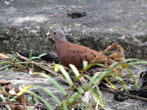 Ruddy-ground dove [Columbina talpacoti] | by TaranRampersad