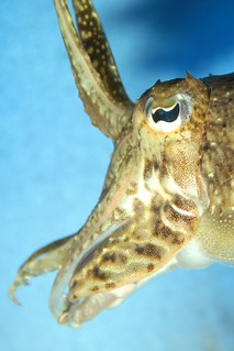 Cuttlefish (Sepiida) | by guppiecat