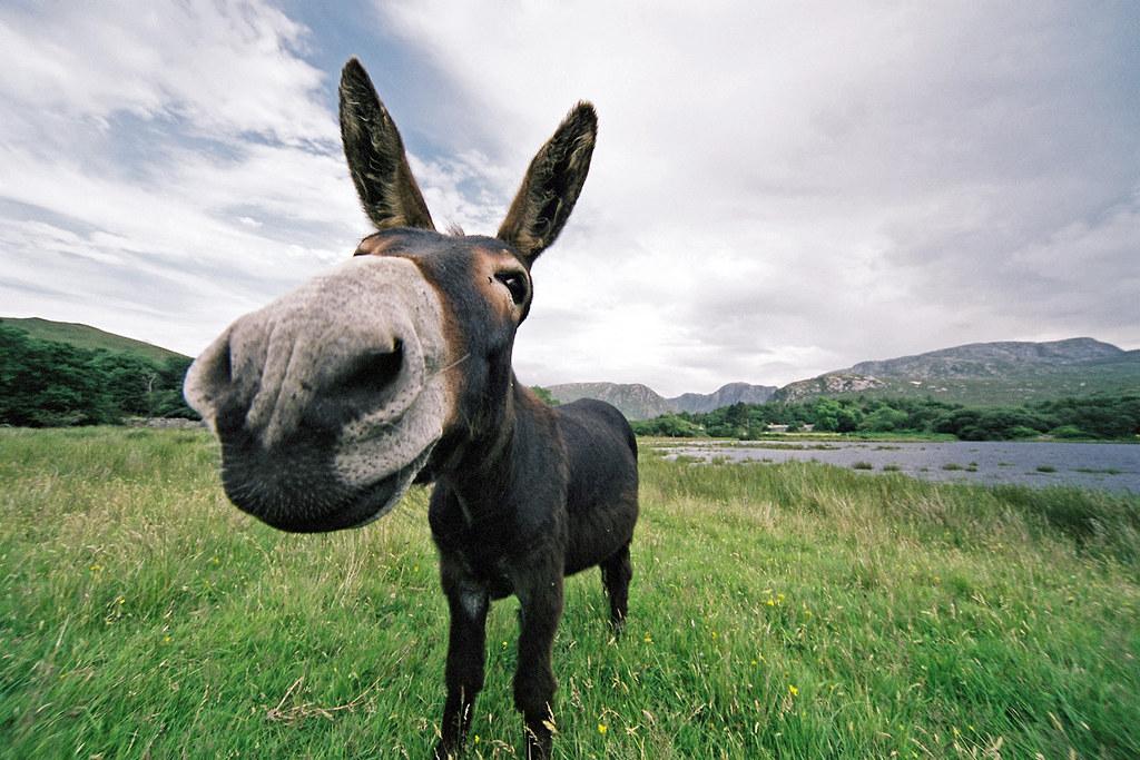 Damn! I lost Shrek again!   Desperate Dan the Donegal Donkey…   Flickr