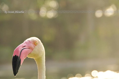 A flamingo at Ritz Hotel, Bahrain | by ALZURBA, E