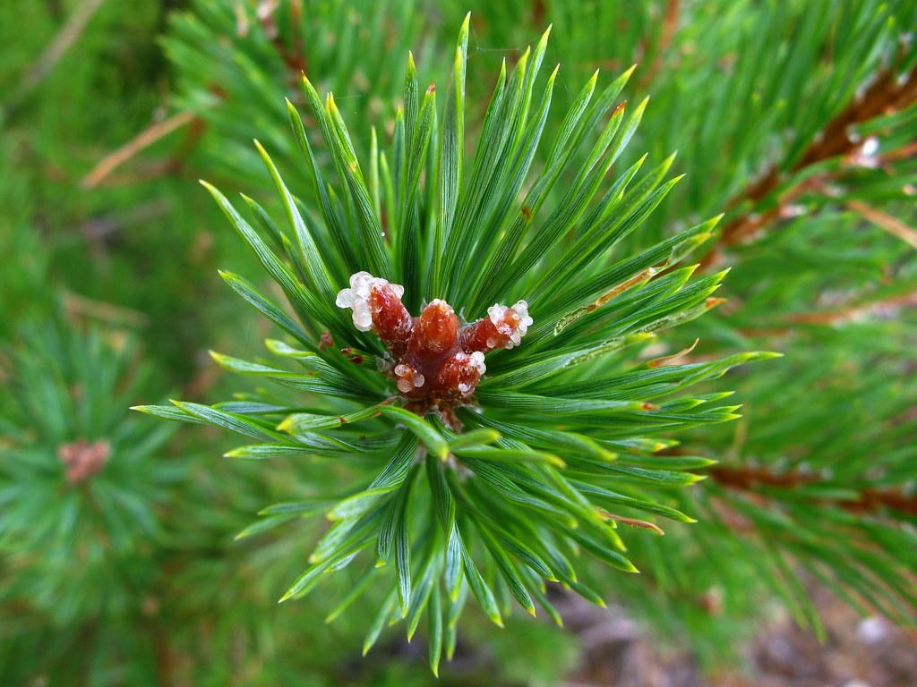 brotes de pino de Valsaín   sus hojas (acículas) tienen una …   Flickr