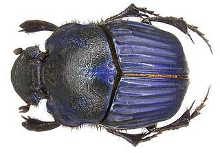 Phanaeus amethystinus guatemalensis Harold, 1871 female
