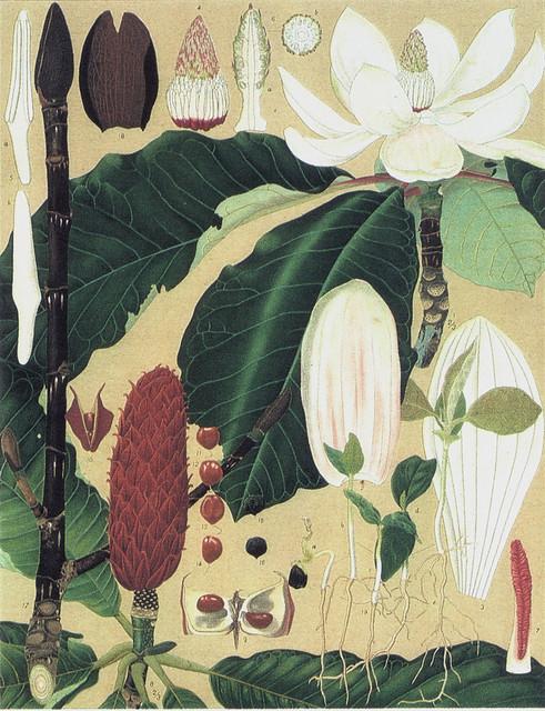 須崎忠助「ホオノキ Magnolia obovata Thunb」