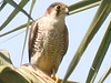 Red-necked Falcon, Liwonde (Malawi), 24-Sep-08 by Dave Appleton