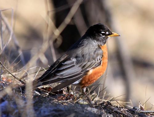 American Robin closeup