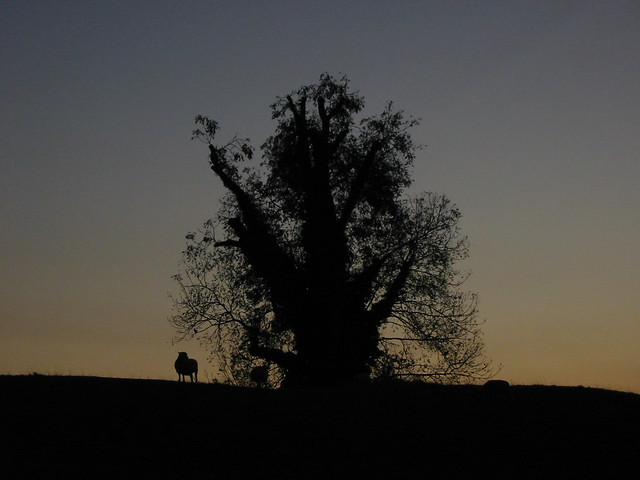 Avebury sunset and a solitary sheep