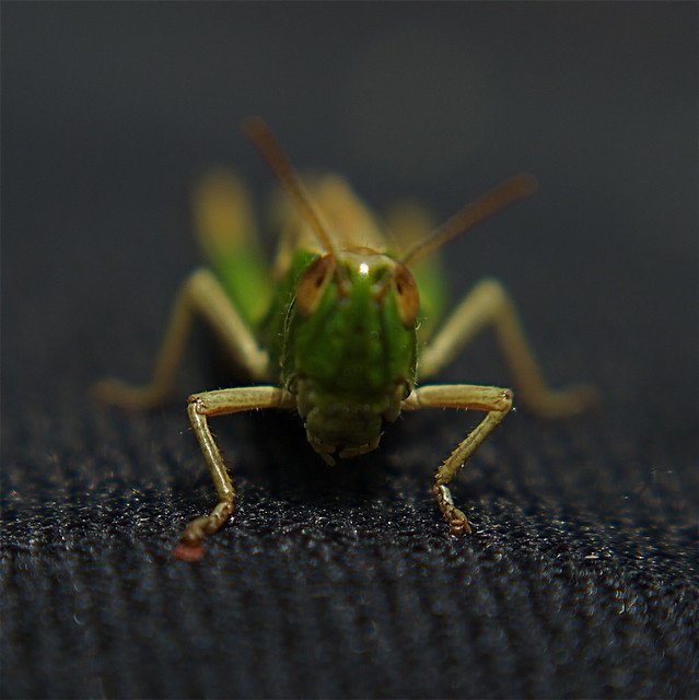 Can i help you? Lensbaby Wetsuit Grasshopper (or is it a cricket?) Macro - Take 2