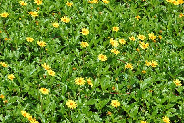 菊科 蟛蜞菊屬 南美蟛蜞菊 (盛花全景) 野柳 Wedelia trilobata