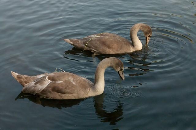 imgp7404 - Teenage Swans