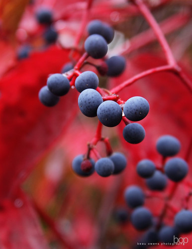 plant color fall leaves oregon photography berries vine eugene grapes coloursplosion gemsofnature beauowens