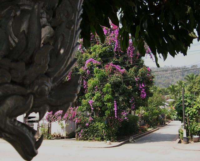 LAOS, Bougenvillea in Luang Prabang