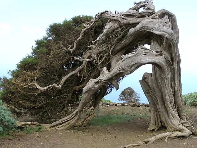 El Hierro;  El Sabinar; Juniperus phoenicea; Jeneverbes; Juniper Tree