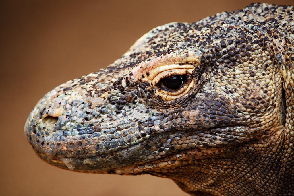 Image: Profile of a Komodo Dragon