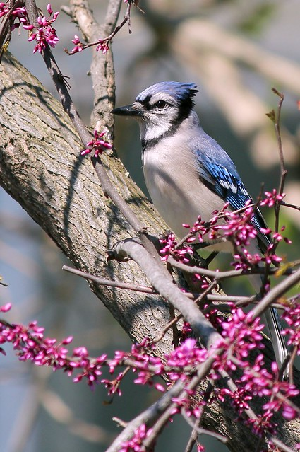 MAP0543 Blue Jay in Redbud