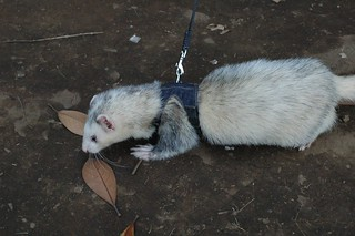 ferret on leash in yoyogi park | by su.bo