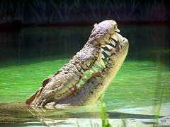 Crocodile smile. | by DeusXFlorida (11,059,330 views) - thanks guys!