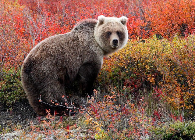 Grizzly Bear Stare ©All Rights Reserved