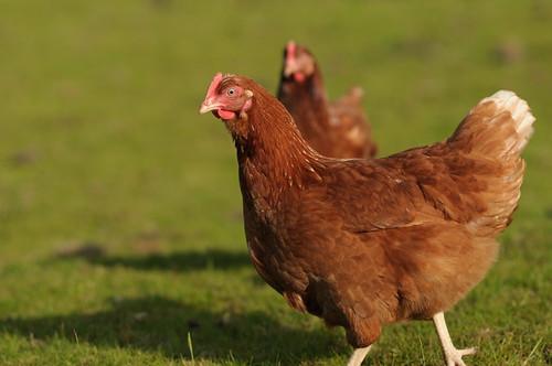 Hens   by sk8geek