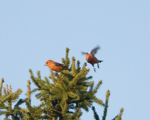 Crossbills | by Sergey Yeliseev