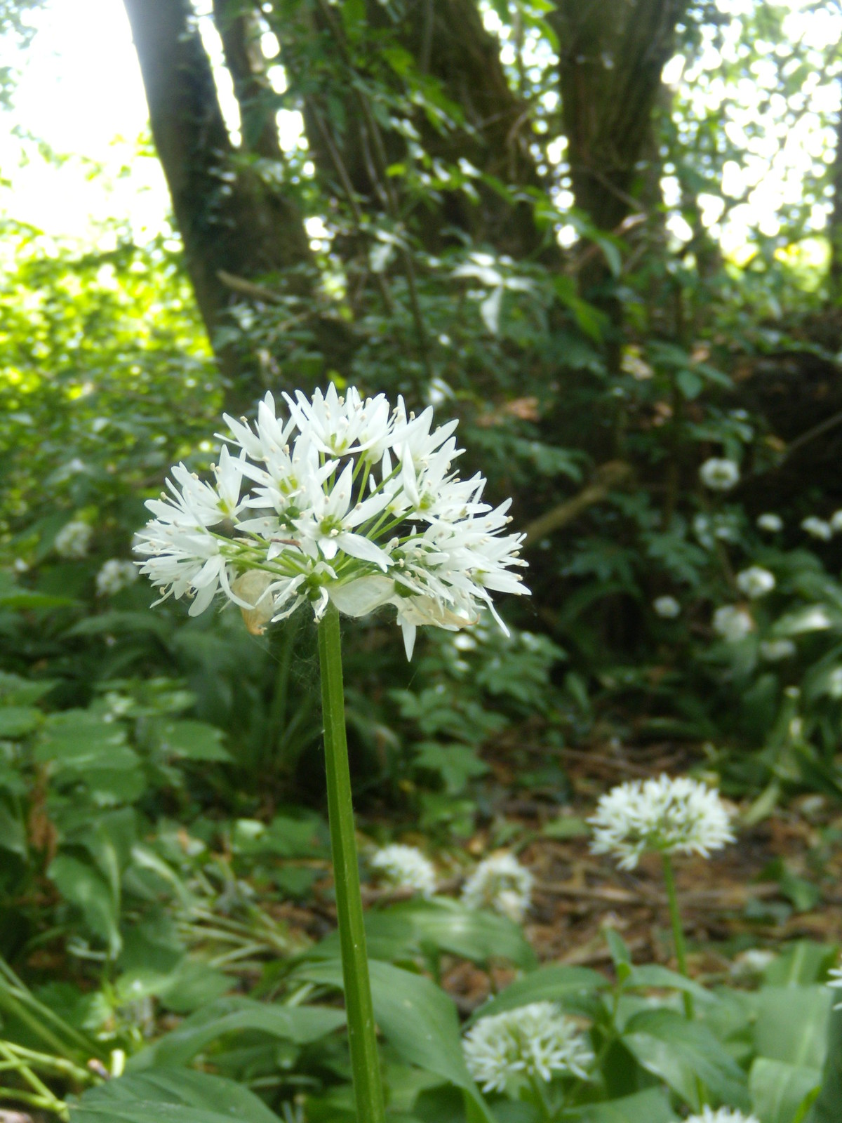 Wild Garlic Wakes Colne to Bures