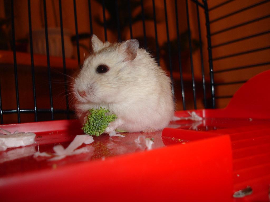 Russian Dwarf Hamster Winter White | cdrussorusso | Flickr