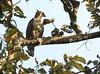Wallaces Hawk-eagle,Kinabatangan river, Sabah - Borneo by filip_verbelen