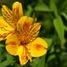 Peruvian Lily, Alstroemeria / Incalelie