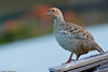 Gray Francolin by keefeeb