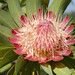 Protea caffra - Photo (c) Martin Heigan, algunos derechos reservados (CC BY-NC-ND)