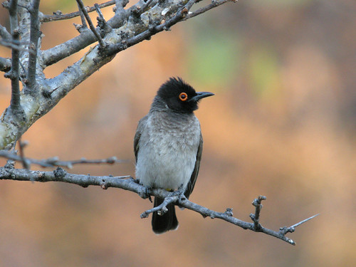 Black-fronted Bulbul, Etosha National Park, Namibia | by Frank.Vassen