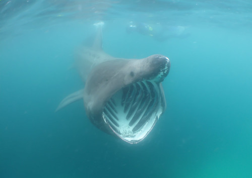 Basking Shark | by yohancha