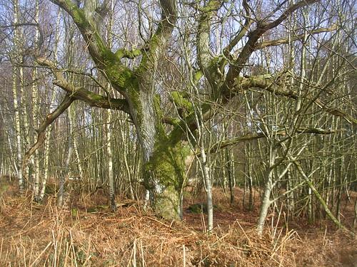 Big tree Amberley to Pulborough