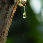 1D30_8594-Tears of the Tree, Sap, Taiwan 樹木晶瑩的眼淚樹汁-樹脂