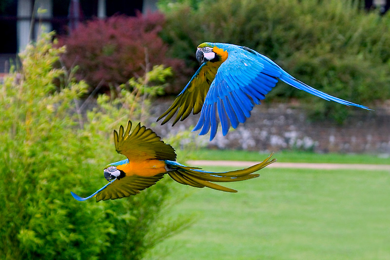 Blue & Gold Macaws in Flight