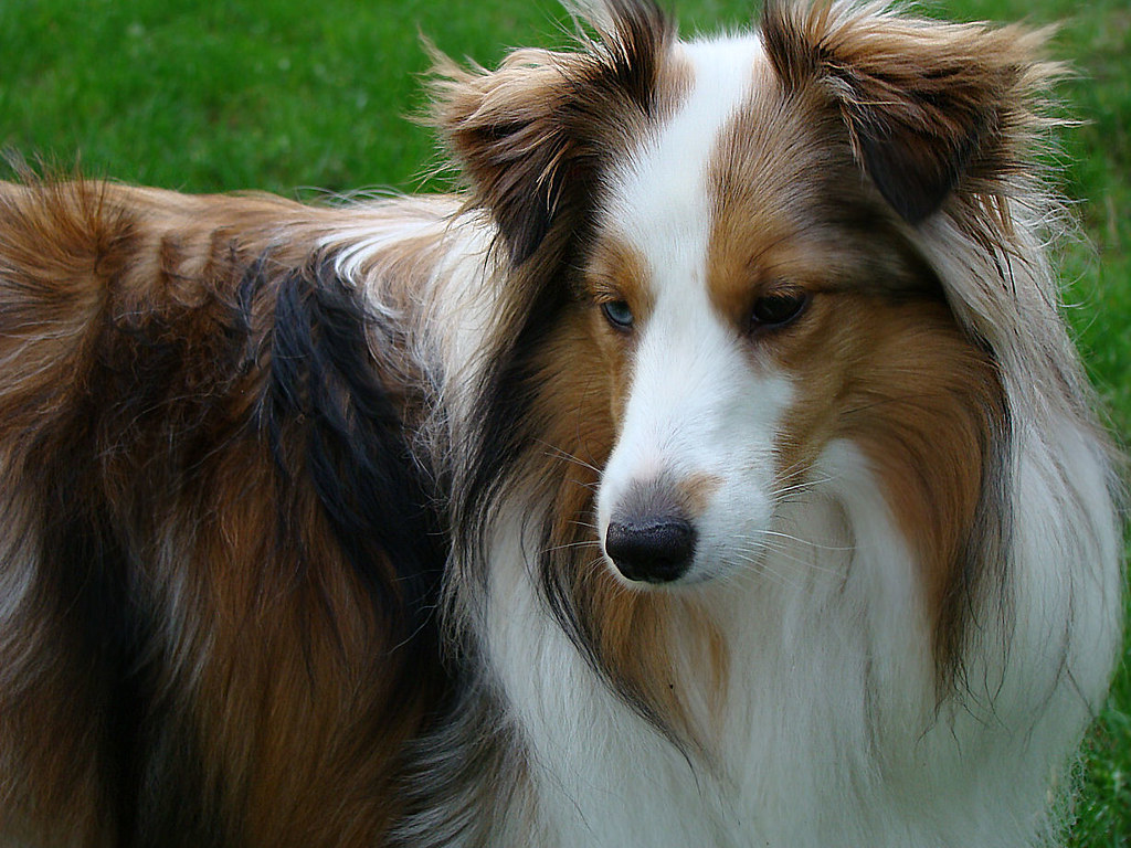 Shetland Sheepdog | This little girls name is Jasmine. She i… | Flickr