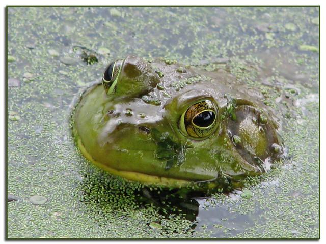Frog in algae