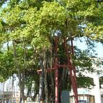 名護ひんぷんガジュマル Banyan tree [MAP by ALPSLAB]   See where this picture was taken. [?]