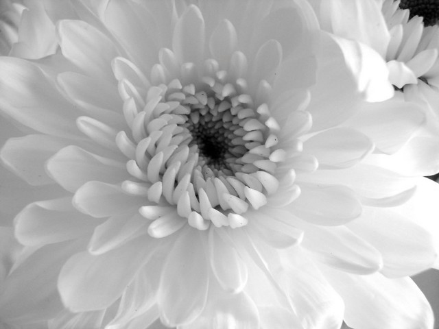 Petally white plant - In black and white