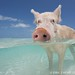 Pigs in the Bahamas